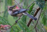 New Caledonian Friarbird