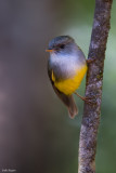 Yellow-bellied Robin