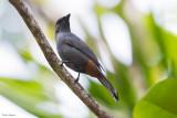 New Caledonian Cicadabird