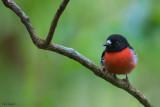 Pacific Robin
