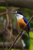 Vanuatu Kingfisher