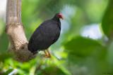 Vanuatu Scrubfowl
