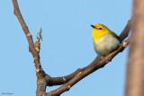 Yellow-spectacled White-eye