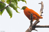 Orange Dove