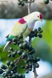 Many-coloured Fruit-dove