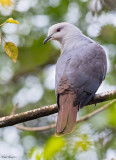 Barking Imperial-pigeon
