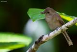 Fiji Shrikebill