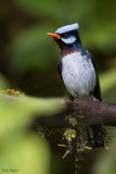 Azure-crested Flycatcher