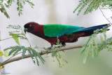 Maroon Shining-parrot
