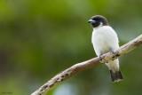 Fiji Woodswallow