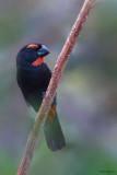 Greater Antillean Bullfinch
