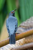 Northern Red-legged Thrush