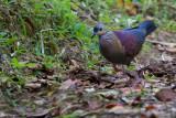Crested Quail-dove