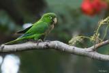 Jamaican Parakeet