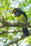 Eastern Yellow-billed Barbet