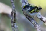 Western Tinkerbird