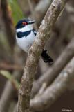 White-fronted Wattle-eye