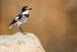 Ground Batis