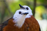 White-headed Robin-Chat