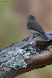 Angolan Slaty Flycatcher