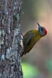 Olive Woodpecker