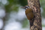 Yellow-crested Woodpecker