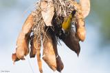 White-collared Oliveback