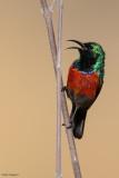 Western Miombo Sunbird