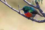 Montane Double-collared Sunbird