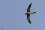 Mottled Swift