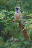 Red-backed Mousebird