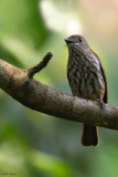 African Shrike-flycatcher