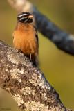 Cinnamon-breasted Bunting