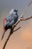 Black-tailed Waxbill