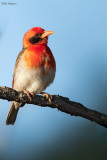 Southern Red-headed Weaver