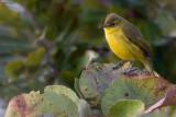 African Yellow Warbler