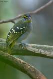 Yellow-throated Nicator