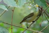Little green Sunbird