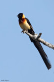 Broad-tailed Paradise-whydah