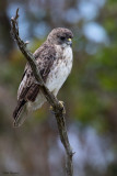 Hawaii Hawk