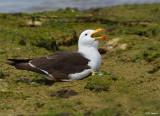Belcher's Gull