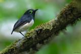 Black-necked Wattle-eye