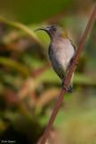 Ursula's Sunbird