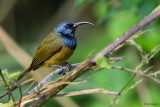 Cameroon Sunbird