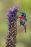 Northern Double-collared Sunbird