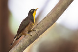 Yellow-throated Cuckoo