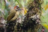 Johnston's Woodpecker