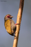 African Piculet