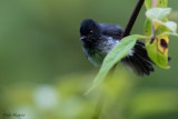 White-bellied Crested Flycatcher