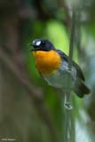 Orange-breasted Forest-robin